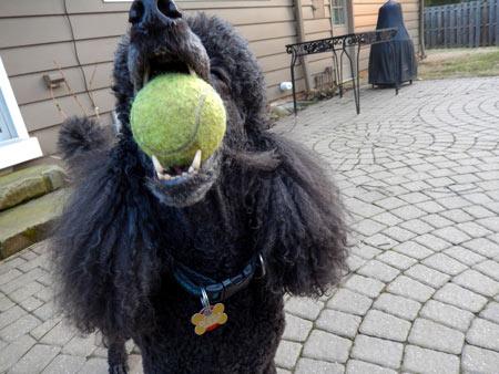 dog tennis ball mouth