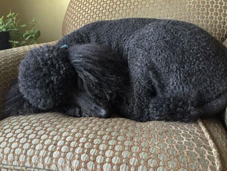 standard poodle sleeps a lot