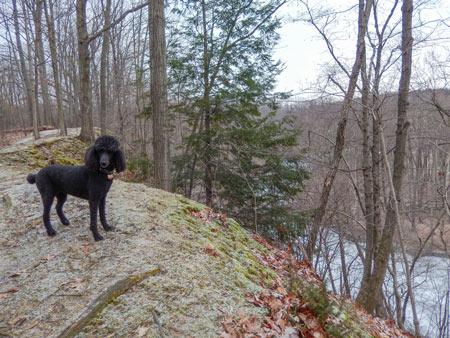 Standard poodle at Rocky River Nature Center